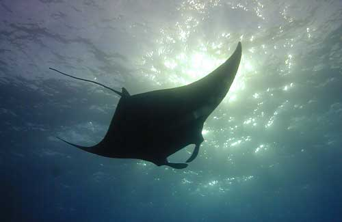 Big Island Manta Ray (Photo Credit: James L. Wing)